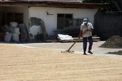 Bali/Indonesia - 9 settembre 2016: Semi di secchezza/grano del sole lavoratore/dell'agricoltore sulla condizione dura concreta co Immagine Stock Libera da Diritti