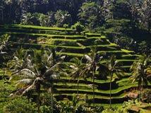 BALI, INDONESIA - terrazas del arroz y palmeras, situadas cerca de la ciudad de Ubud en Bali, Indonesia foto de archivo libre de regalías