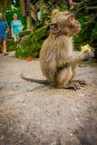 BALI, INDONESIEN - 5. APRIL 2017: Langschwänzige Babymakaken Macaca fascicularis im Ubud albern Forest Temple-Essen a herum Stockbild