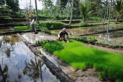 BALI INDONESIEN - JULI, 2014: Bönder som arbetar på terrassrisfält på Bali, Indonesien royaltyfri fotografi