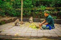 BALI, INDONESIEN - 5. MÄRZ 2017: Nicht identifizierte Leute, die Pfeilerkörner schneiden, um den langschwänzigen Makaken Macaca e Stockfoto