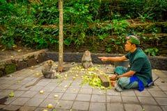 BALI, INDONESIEN - 5. MÄRZ 2017: Nicht identifizierte Leute, die Pfeilerkörner schneiden, um den langschwänzigen Makaken Macaca e Lizenzfreies Stockbild