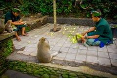 BALI, INDONESIEN - 5. MÄRZ 2017: Nicht identifizierte Leute, die Pfeilerkörner schneiden, um den langschwänzigen Makaken Macaca e Stockfotografie