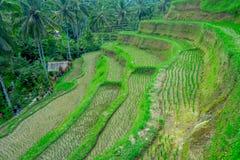 BALI INDONEZJA, KWIECIEŃ, - 05, 2017: Niezidentyfikowani ludzie chodzi przez pięknych tarasów z zielonymi ryż, blisko Fotografia Stock