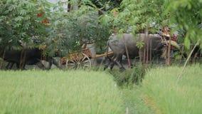 Bali Indonezja, Wrzesień, -, 2016: Makepung †'bizon Ściga się w Bali zbiory wideo