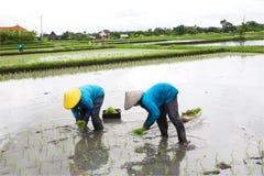 BALI - 3. JANUAR: Weibliche Landwirte des Balinese, die Reis durch Hände pflanzen Stockfotografie