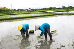 BALI - JANUARI 3: Kvinnliga bönder för Balinese som planterar ris vid händer Arkivbild