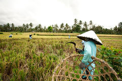 BALI - JANUARY 3 :Balinese female farmers plant rice by hands. Stock Photo