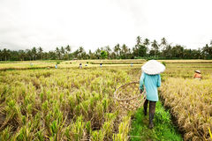 BALI - JANUARY 3 :Balinese female farmers plant rice by hands. Stock Image