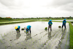 BALI - JANUARY 3 :Balinese female farmers planting rice by hands Stock Photos