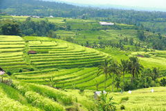 Bali Jatiluwih Rice Terraces field Royalty Free Stock Photography