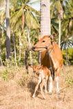 Bali ko med kalven Arkivbilder