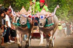 Bali krowy Tradycyjna rasa fotografia stock