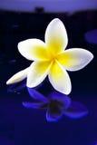 bali kwitnie frangipani Hawaii ilustracyjnego Indonesia lanka kolii plumeria shri tropikalnego wektor Zdjęcie Royalty Free