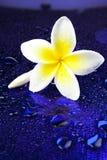 bali kwitnie frangipani Hawaii ilustracyjnego Indonesia lanka kolii plumeria shri tropikalnego wektor Zdjęcia Royalty Free
