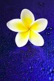bali kwitnie frangipani Hawaii ilustracyjnego Indonesia lanka kolii plumeria shri tropikalnego wektor Obraz Royalty Free