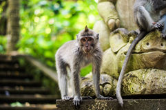 Bali. Mokey Forest. Monkey sitting on the statue Royalty Free Stock Images