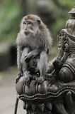 Bali - monkey forest Royalty Free Stock Images