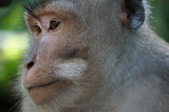 Bali monkey. Monkey in Bali, Indonesia with interesting facial expression Royalty Free Stock Image