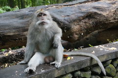Bali monkey relaxing Royalty Free Stock Photography