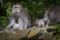 Bali Monkeys. A family of macaque monkeys lounging in the Ubud, Bali, Sacred Monkey Forest. The older monkey seems to be mocking me Royalty Free Stock Images