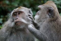 Bali monkeys grooming. Monkey in Bali grooming other adult monkey. Indonesia. With interesting facial expression Stock Image