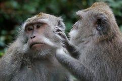 Bali monkeys grooming Stock Image