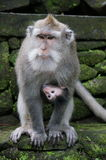 Bali monkeys. Monkey in Bali, Indonesia with interesting facial expression Royalty Free Stock Image
