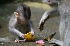 Bali monkeys. Monkey in Bali, Indonesia with interesting facial expression Royalty Free Stock Photography