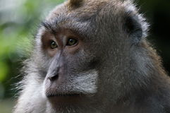 Bali monkey face Stock Image