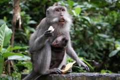 Bali monkeys. Monkey in Bali, Indonesia with interesting facial expression Royalty Free Stock Images
