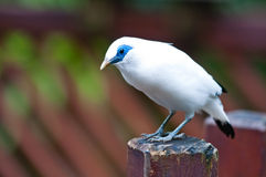 Bali myna. A bali myna is finding food on a wooden fence Royalty Free Stock Image