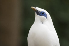Bali Myna. A close-up picture of a Bali Myna Royalty Free Stock Photos