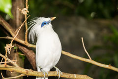 Free Bali Myna Royalty Free Stock Photography - 93491067