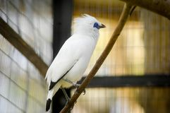 The Bali myna, also known as Rothschild`s mynah, Bali starling, or Bali mynah, locally known as jalak Bali Stock Images