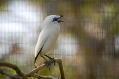 The Bali myna, also known as Rothschild`s mynah, Bali starling, or Bali mynah, locally known as jalak Bali Royalty Free Stock Photos