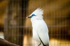 The Bali myna, also known as Rothschild`s mynah, Bali starling, or Bali mynah, locally known as jalak Bali Royalty Free Stock Image