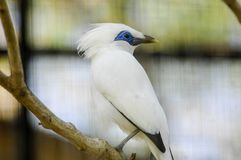 The Bali myna, also known as Rothschild`s mynah, Bali starling, or Bali mynah, locally known as jalak Bali Stock Photos