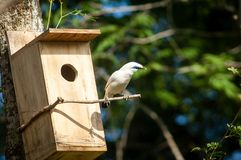 The Bali myna, also known as Rothschild`s mynah, Bali starling, or Bali mynah, locally known as jalak Bali royalty free stock images