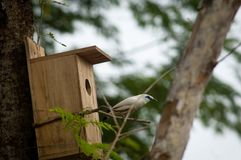 The Bali myna, also known as Rothschild`s mynah, Bali starling, or Bali mynah, locally known as jalak Bali Stock Photography