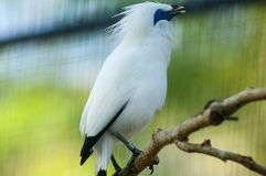 The Bali myna, also known as Rothschild`s mynah, Bali starling, or Bali mynah, locally known as jalak Bali stock image