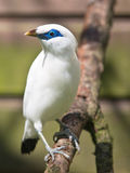 Bali myna or Bali Starling. Where of only 20 birds are left in the wild Royalty Free Stock Photos