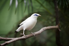 Bali Myna Bird. This Critically Endangered species is the national symbol of the Island of Bali. This beautiful bird has been discovered in 1912. The Bali myna ( Stock Photos