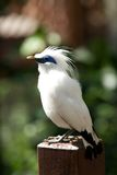 Bali myna bird perched on handrail post Royalty Free Stock Image