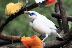 Bali Myna bird Royalty Free Stock Images