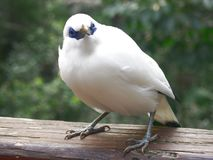 Bali myna Bird. On wood facing front. Rare and endangered bird is also known as Rothschild`s myna or Bali Starling. White feathers, black tips on wings and tail Stock Photos