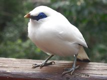 Bali myna Bird. On wood nodding head. Rare and endangered bird is also known as Rothschild& x27;s myna or Bali Starling. White feathers, black tips on wings and Royalty Free Stock Photo