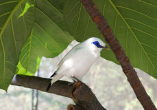 The Bali Myna Royalty Free Stock Image