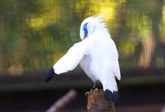 Bali myna Royalty Free Stock Images