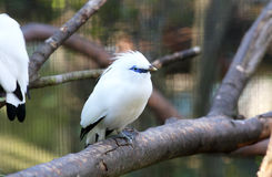 Bali myna Stock Photo